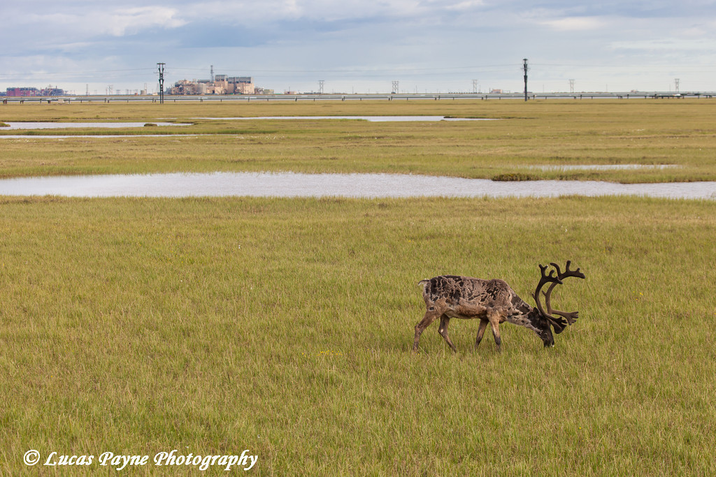 Bull caribou grazing on the tundra with the Lisburne Production Facility in the background, Prudhoe Bay Oil Field, North Slope,  Arctic Alaska<br /> <br /> July 20, 2012