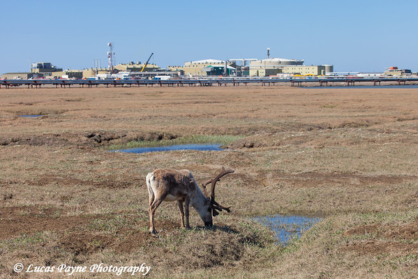 Caribou grazing on the tundra with Pump Station 1 in the background, Prudhoe Bay Oil Field, North Slope, Arctic Alaska<br /> <br /> June 21, 2012