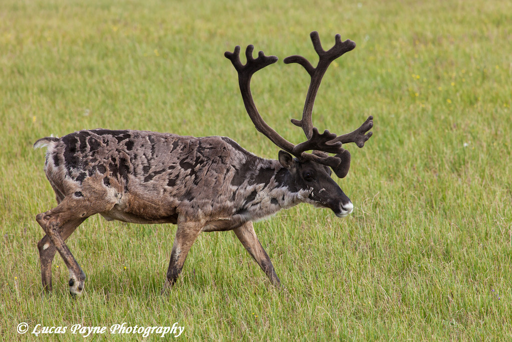 Bull caribou walking on the tundra in the Prudhoe Bay Oil Field, North Slope,  Arctic Alaska<br /> <br /> July 20, 2012