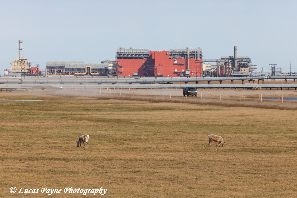 Caribou grazing on the tundra with the Central Gas Facility (CGF) and a truck driving on the road in the Prudhoe Bay Oil Field, North Slope, Arctic Alaska<br /> <br /> June 23, 2012