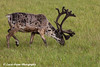 Bull caribou grazing on the tundra in the Prudhoe Bay Oil Field, North Slope,  Arctic Alaska<br /> <br /> July 20, 2012