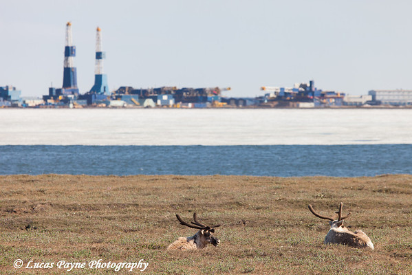 Two Caribou laying on the tundra in Deadhorse with Lake Colleen and two oil rigs in the background, North Slope, Arctic Alaska,<br /> <br /> June 21, 2012
