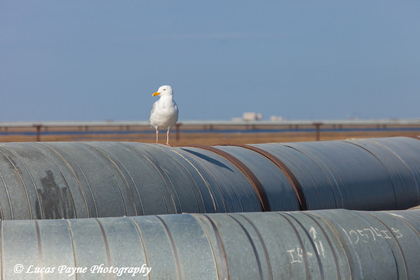 Seagull perched on top of oil pipelines in the Prudhoe Bay Oil Field, North Slope, Arctic Alaska<br /> <br /> June 23, 2012