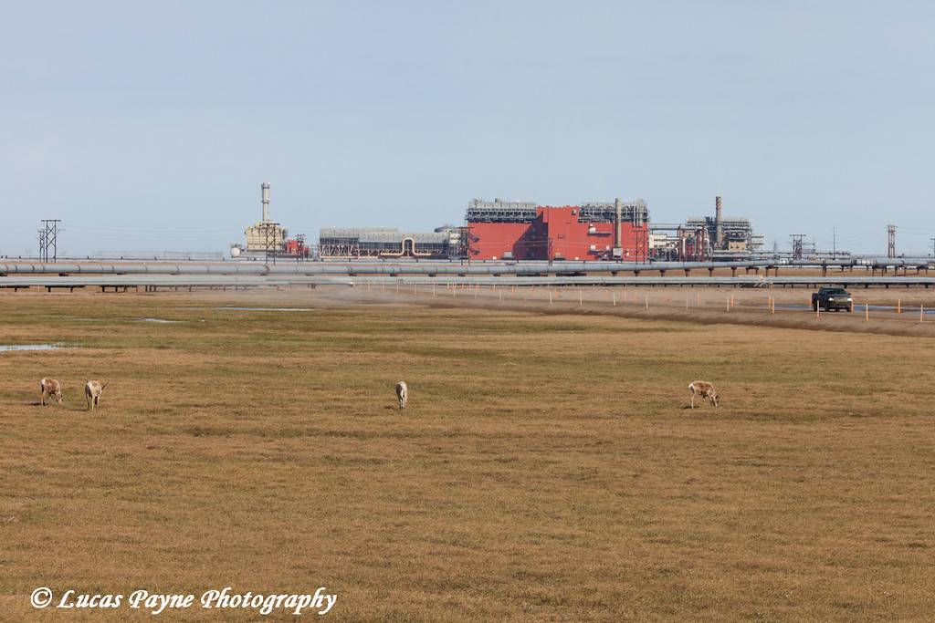 Caribou grazing on the tundra with the Central Compression Plant (CCP) and a truck driving on the road in the Prudhoe Bay Oil Field, North Slope, Arctic Alaska<br /> <br /> June 23, 2012