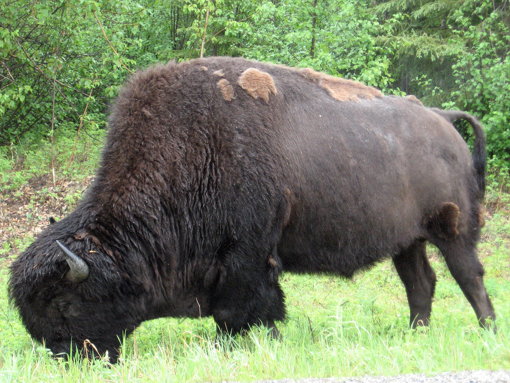 Bison grazing along side the Alaska Highway between Fort Nelson, BC and Watson Lake, YT.