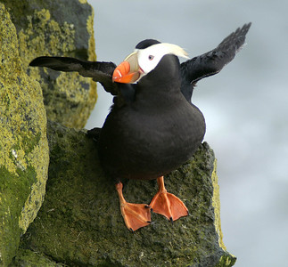 Tufted Puffin (waving) 060 ed