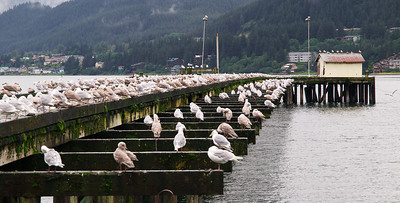 An abandoned pier in downtown Juneau has become a popular seagull resting spot, especially on windy days. September 3rd, 2008.