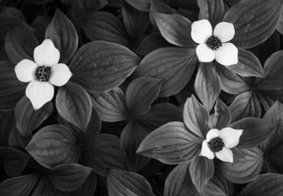 One of my favorite photographs from 2012, dwarf dogwood in bloom, on the trail to Lena Point. This would be best printed by me on really high quality paper, but if you do order it, don't get a wrap as the left flower is too close to the edge and it would look strange folded over.