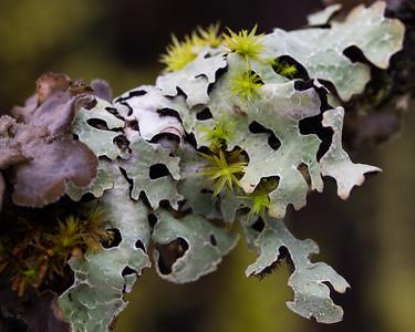 Lichen and moss on an Alder branch.