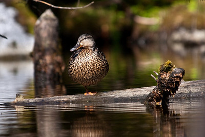 A Mallard Duck on a log, enjoying the sun. Ducks tend to be a little more skittish away from the public parks, but give them a nice sunny spot and they don't want to move. Captured in the beaver pond near the Glacier Visitor Center in Juneau, Alaska on June 24, 2009.