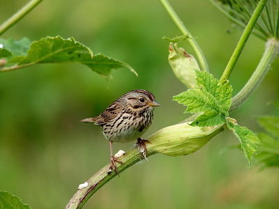 Same little sparrow, also in the Mendenhall Game Refuge, but nicely posed for a photo. Captured June 26, 2010.