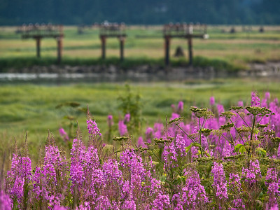 July is also time for our most abundant wildflower, Fireweed, otherwise known as epilobium angustifolium, common in the North around the globe, and pretty everywhere. In the background you can see some airport landing lights and the Mendenhall River.  July 16th, 2009.