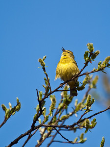 A yellow warbler sings in spring, near the Mendenhall glacier. May 16th, 2009.
