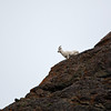 A Dall's sheep peers down over Windy Point.