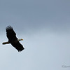 A bald eagle flies overhead at Potter's Marsh.