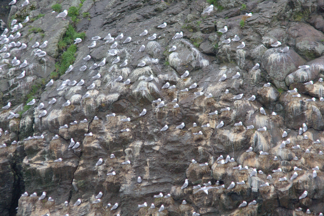 Black-legged Kittiwake rookery