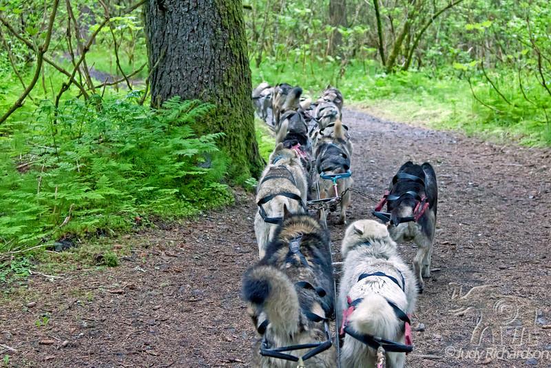 Dog team pulling cart on gravel path at Seavey's in Seward, Alaska.