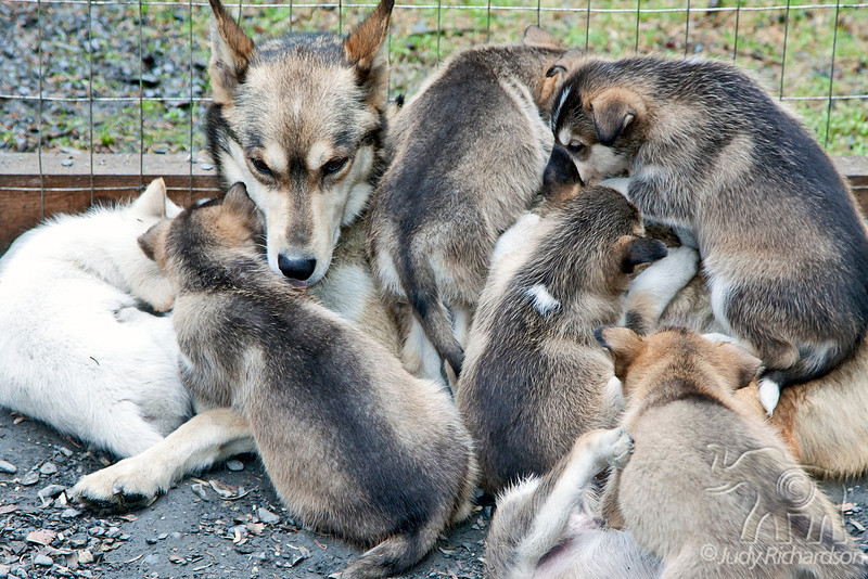 Mother at future dog mushing pups pile on each other.
