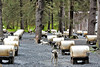 Many dogs ready for pulling carts over gravel paths as visitors get to witness the setup at Seavey's in Seward, Alaska.