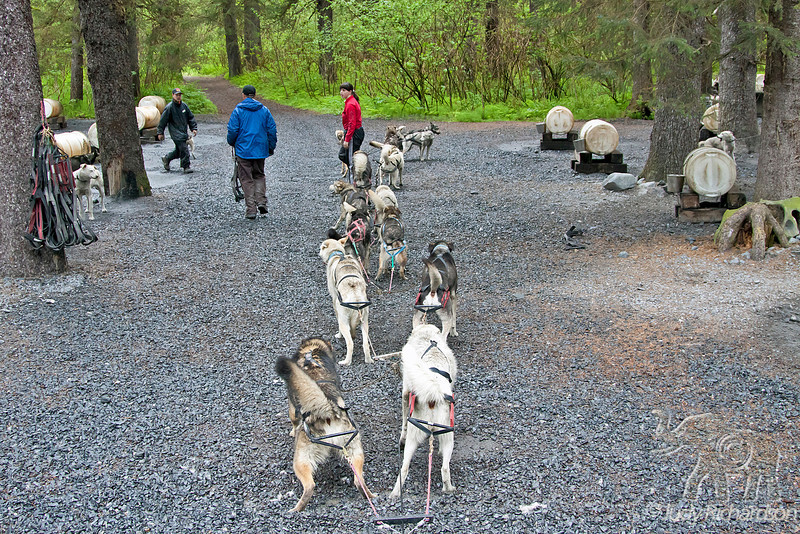 Dog team being harnessed for pulling cart on gravel path at Seavey's in Seward, Alaska.