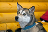 Retired Iditarod lead dog now used to demonstrate how the dog is prepared for the severe conditions of the race.