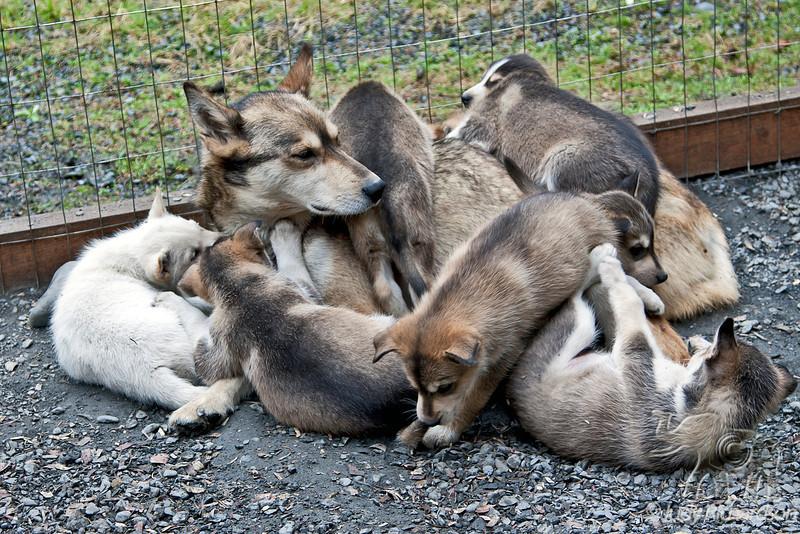 Mother at future dog mushing pups!