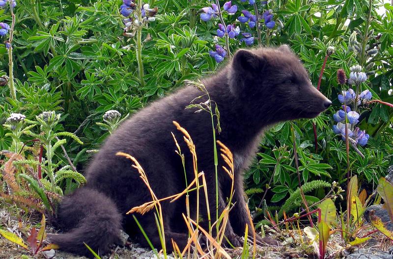 Russian Blue Fox (Scruffy) and Lupine-Shemya Island, Alaska