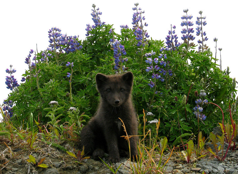 Russian Blue Fox (Scruffy) and Lupine-Shemya Island, Alaska