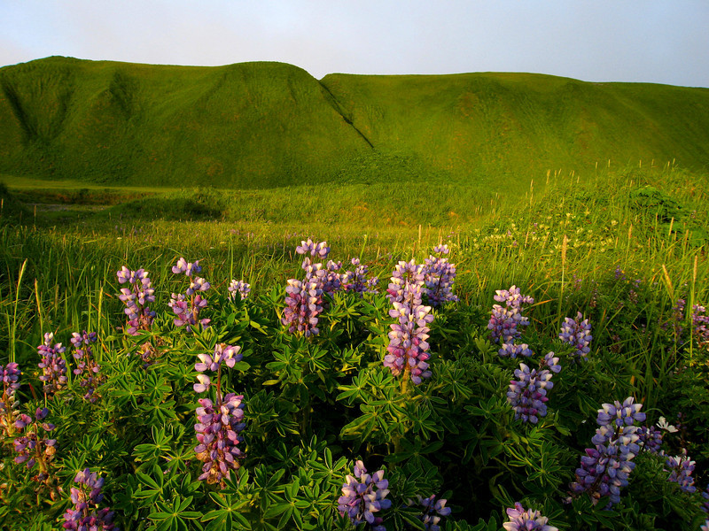 Lupine on North Beach-Shemya Island, Alaska