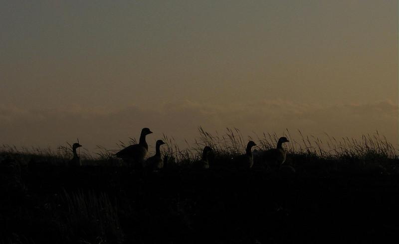Geese Shemya Island, Alaska