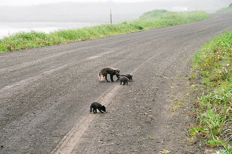 "Russian Blue Fox aka ""Scruffies"" Shemya Island, Alaska"