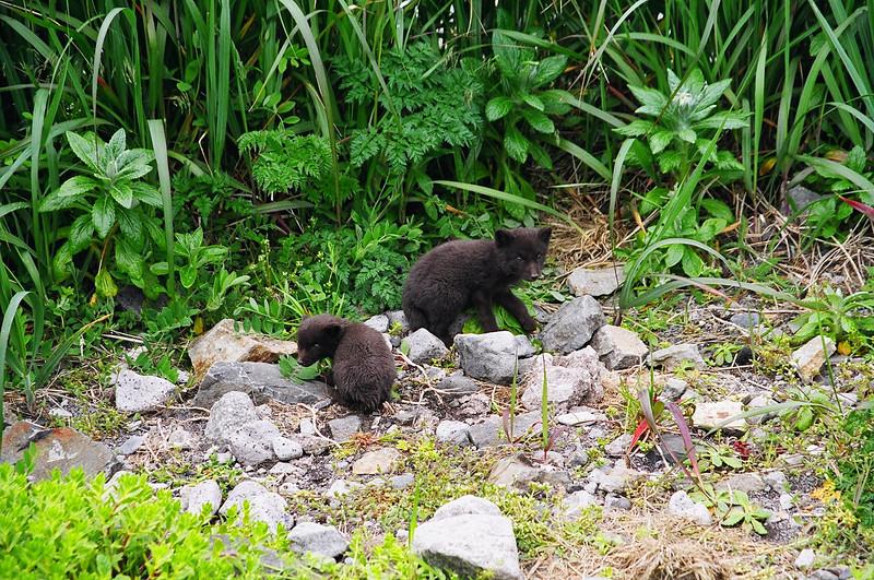 "Baby Russian Blue Foxes ""Scruffies"" on Shemya Island, Alaska"