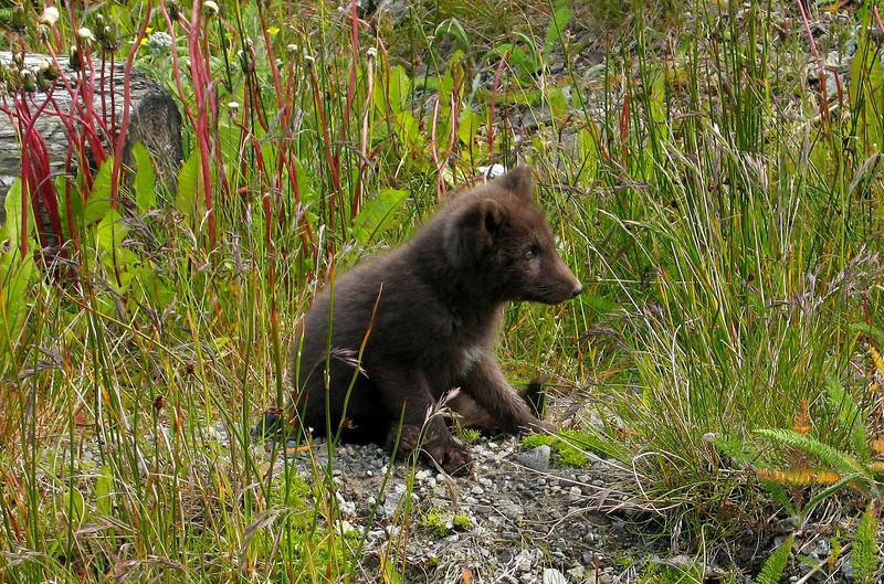 "Russian Blue Fox, ""Scruffy""-Shemya Island, Alaska"
