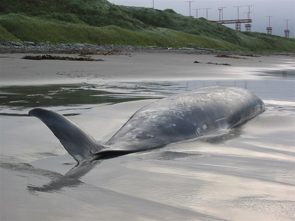 Beached Stejneger's Beaked Whale on south beach-Shemya Island, Alaska.
