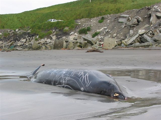 Beached Stejneger's Beaked Whale on south beach-Shemya Island, Alaska.