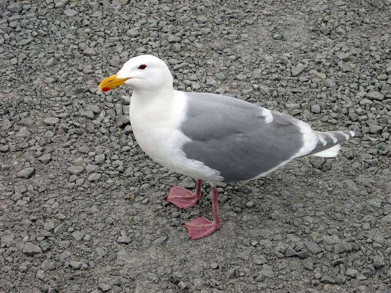 """""""Gertrude""""  This seagull would sit on the hood of our trucks and one of the security officers gave her the name """"Gertrude""""."""