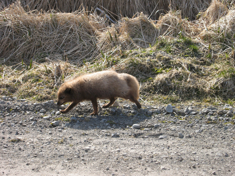 """Scruffy"" - Russian Blue Fox on Shemya Island, Alaska"