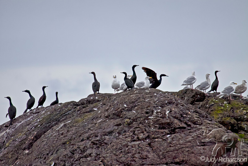 Rock with Cormorants and Gulls
