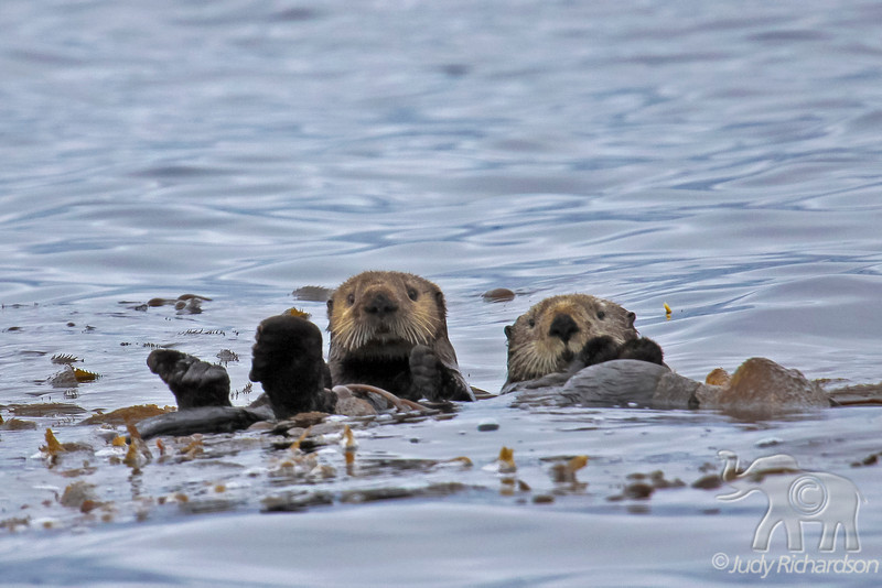 2 Sea otters wrapped in sea weed to remain in position.
