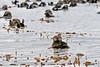 Sea otter wrapped in sea weed with a raft of sea otters behind