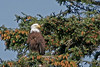 Bald Eagle in tree~Sitka Sound