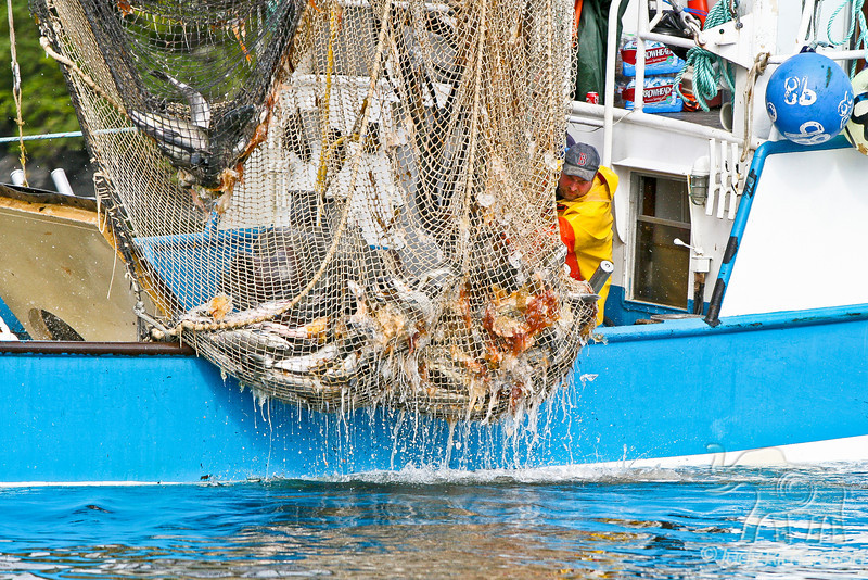 Fisherman bringing the nets up with fish, crab, and jellyfish