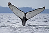 """Whale tail with """"footprint"""" as the whale was making a deep dive"""