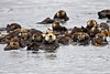 Raft of sea otters watching us