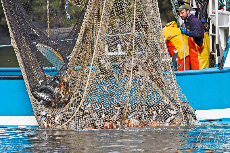 Closeup of fish net being hauled onto boat with fish, crab, and jellyfish