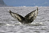 """Whale tail showing """"footprint"""" used to identify each whale"""