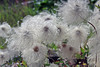 Beautiful lacy plant in Carcross, Yukon Territory, Canada