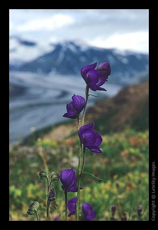 M11 Monkshood Over Rohn Glacier