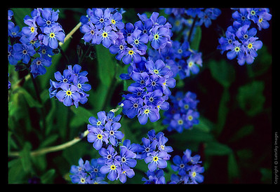 K18 Alpine Forget-Me-Not