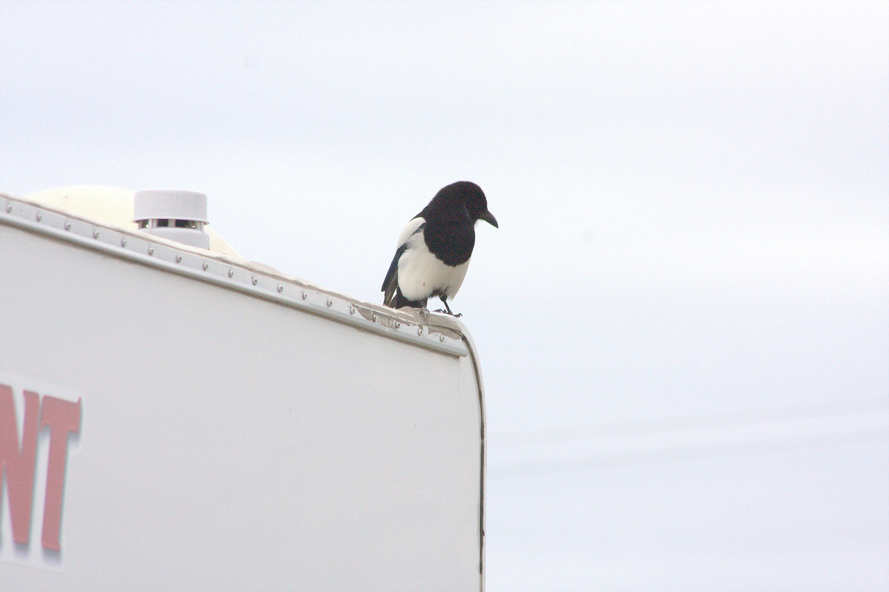 Black-billed Magpie watching us from the RV